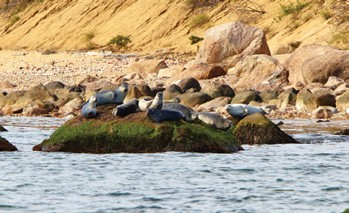 Seals off Plum Island