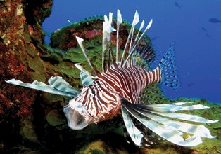 Targeting Invasive Lionfish