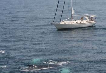 Sharing the Seas: Safe Boating for Sailors and Whales