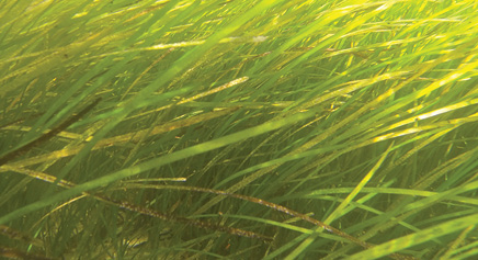 The Fishers Island Seagrass Management Coalition